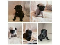 5 Beautiful KC Pug Puppies