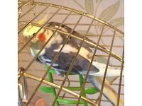 Hand Reared Cockatiel For Sale