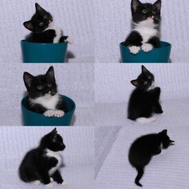 Lovely Adorable Kitten for Sell