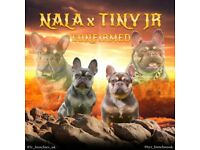 QUALITY ISABELLA CARRIER FRENCH BULLDOGS