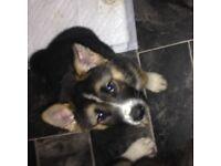 puppy Akita