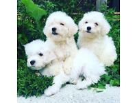 Bischon frise puppies