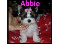Mini Female Biewier Yorkshire Terrier