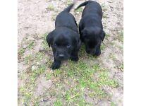 Black Labrador bitch puppy