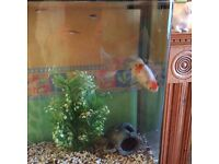 Good Home Wanted For a Big Goldfish (FREE)