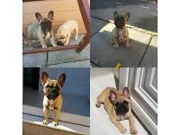 Kc French bulldogs 2 girls left