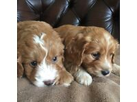 4 Stunning Cocker poo puppies for sale