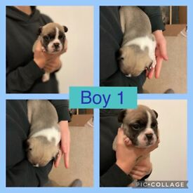 Stunning fawn and fawn pied french bulldog puppies