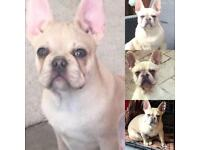 French bulldog male.