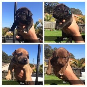 American staffy puppies Port Macquarie Port Macquarie City Preview