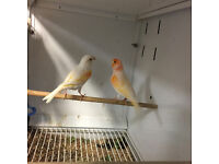 Pair of red dimorphic canary birds