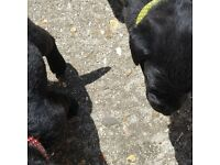 1 Male Black Labrador Puppy, KC Registered, Home Environment raised!