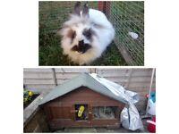 Female non neutered rabbit