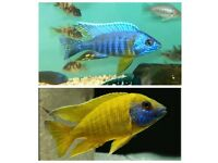 fish Malawi peacocks cichlid african. 1 -1.5 Inch - £2.50 Each