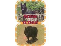 Beautiful German Shepherd Puppies only 2 left