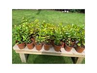 Money Plants 10cm pots