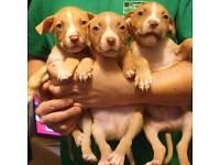 Mixed breed pups, dog de bordeaux cross