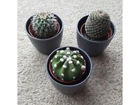 3 Cacti Plants