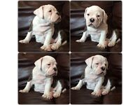 READY Stunning Old Tyme Bulldog puppies from £900