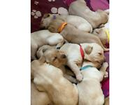 Full Bred Fox Red and Golden Labrador Puppies
