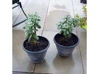 Jade plants x2