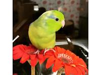 Young male Parrotlet