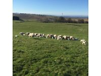 Lambing help required for 60 ewes in NE Scotland starting 1 April