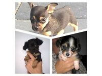 Chihuahua cross dacshund Puppies. (Chiweenies )