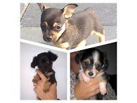 Chihuahua cross dacshund Puppies. (Chiweenies )