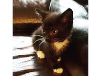 1 black & white female kitten