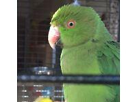 Indian Ringneck Parrot For Sale Glasgow With Large Cage and Toys