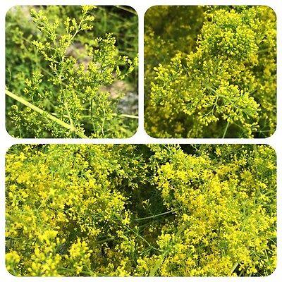 Garten, Wildblumen (Echtes Labkraut Galium verum Wildblume f. naturnahe Gärten Heilpflanze Honigduft)