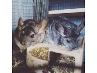Chinchillas for sale, 2 years old aprox