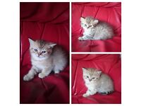 Lovely pedigree kittens for quick sale