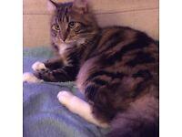 Beautiful Tortie/Calico Kittens