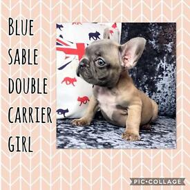 Blue sable double carrier girl French bulldog