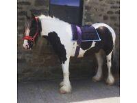 14.2 3yo mare for sale