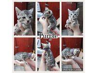 Last Bengal x Burmese Kitten