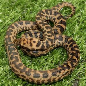 Spotted Python Hatchlings Howard Springs Litchfield Area Preview