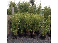 Griselilnia Hedging Plants