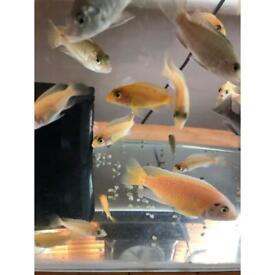 Cichlids mbuna fish for sale