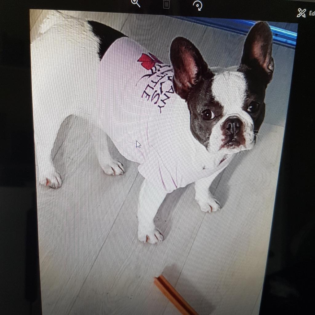 bulldog for sale west sussex in Laredo