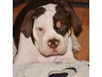 Old Tyme English Bulldog Puppy ***Last boy left***