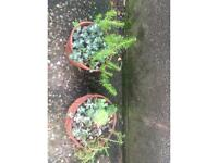 Mix succulents plant in terracotta pots 2 for 12