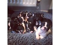 Kc reg stunning French bulldogs ready now