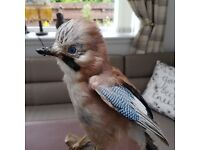 taxidermy jay bird