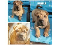READY TO LEAVE NEXT WEEK! Shar pei X chowchow puppies