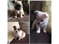 Pedigree long haired chihuahua puppies