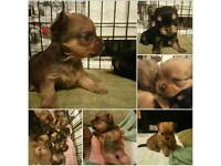 Gorgeous Chorkie Pups
