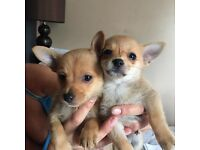 Chihuahua/Pomeranian